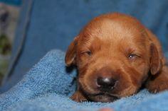 Ladykenz puppy