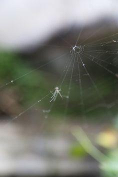 frontyard spider