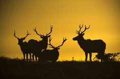 """Tule Elk Sunset Silhouette """"Point Reyes"""" (by Josh Merrill Photography)"""