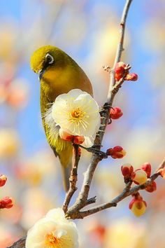 Japanese White-eye.