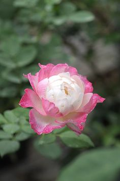 Rose 'Seraphim'