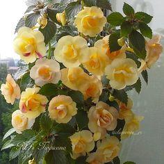 #RFTropicana #Gesneriad #GesneriadSocietyofAmerica #Achimenes #AVSA #IndoorPlant #Houseplant #petals #AfricanVioletSocietyOfAmerica #flowers #blooms #flowerpower #flowerstagram #FlowersOfInstagram