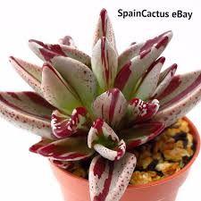 Our next wishlis Rare Succulents, Planting Succulents, Air Plants, Cactus, Instagram, King Size, Decorations, Colors, Ebay
