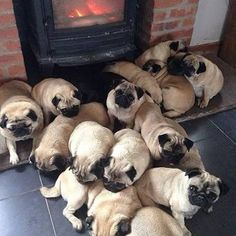 A pile of pugs!