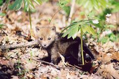 baby fox with mayapple plants