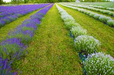 Awesome blooms now both purple and pink lavenders coming into full bloom