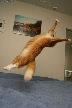 cat backflip ... I bet Blue can do this!