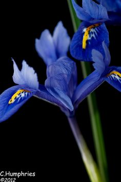 Iris on Black Background by Chris Humphries**