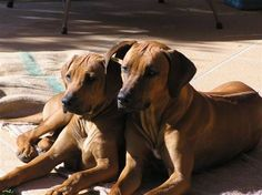 Rhodesian Ridgebacks - my favorite breed of dog. - we grew up with this breed! Henry, Ruby and Riley!
