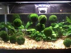 Floating Marimo Moss Balls - these are so neat!