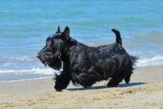 30 Small Dog Breeds That Make Great Pets Scottish Terrier Small Dog Breeds, Small Dogs, Small Black Dog, Scottish Terrier Puppy, Miniature Schnauzer Puppies, Schnauzer Puppy, Schnauzers, Dog Breeds Pictures, Terrier Dog Breeds