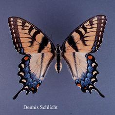 Papilio glaucus (Dennis Schlicht)