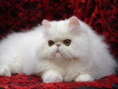 cara memandikan kucing persia,anggora yang baik dan benar,anggora di rumah,cara merawat kucing anggora untuk pemula,umur 2 bulan,umur 3 bulan,dewasa,kecil,