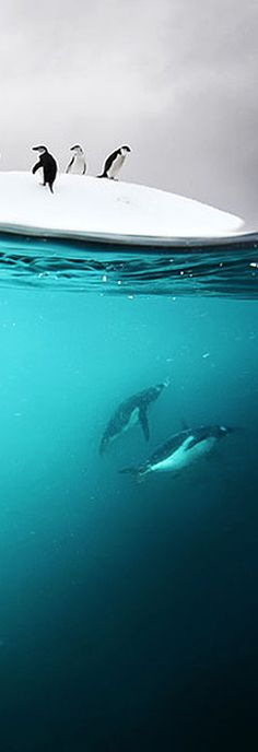 Underwater Antarctic Penguins By David Doubilet #penguins #ocean #antartica