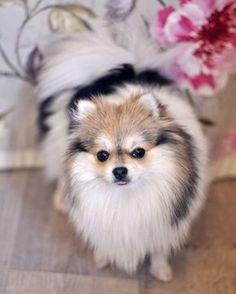 Super fluffy pomeranian @yummypets