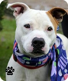 Fort Wayne, IN - Pit Bull Terrier/American Staffordshire Terrier Mix. Meet China, a dog for adoption. http://www.adoptapet.com/pet/16944479-fort-wayne-indiana-pit-bull-terrier-mix