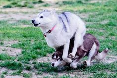 Siberian Husky bumbles.  Lol.  By 1 1000 Lakes Photography.