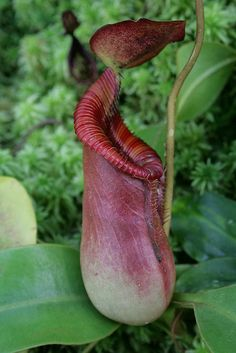 Nepenthes Asian Pitcher Plant