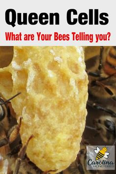 Seeing queen cells in your beehive can be a blessing or a curse, depending on your goals for that hive. Their appearance gives you clues about the status of your colony. Honey Bee Hives, Honey Bees, Bee Facts, Bee Hive Plans, Beekeeping For Beginners, Raising Bees, Bee Swarm, Bee Boxes, Backyard Beekeeping