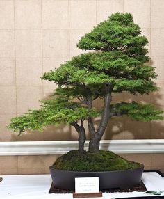 mountain hemlock bonsai | Mountain Hemlock | Flickr - Photo Sharing!