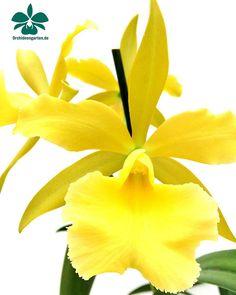 Bc. Heide  #orchids #Orchidee #Orchideen #OrchIDEENgarten #orquídea #orquídeas #orchidées #orchidée #orchidej #orchideje #orkid #orkidéer #storczyki #storczyk #nature #naturelovers #iloveorchids #loveit #Blumen #brassocattleya #colours #orchidacea #flowers #flower #best #love #pic #plant #garden #gardening