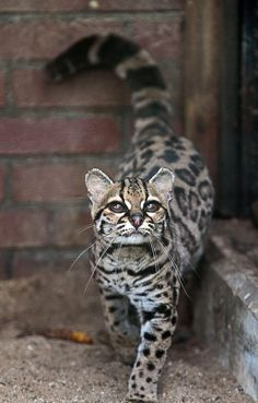 Margay cat is very rare, often confused with ocelot. This is the only cat whose hind legs rotate 180 degrees, allowing them to run headfirst down trees.