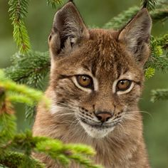 Baby lynx by Luca D'Ambros