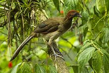 Rufous-headed Chachalaca.jpg