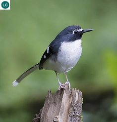 Slaty-backed forktail (Enicurus schistaceus); IUCN Red List of Threatened Species 3.1 : Least Concern (LC)(Loài ít quan tâm).