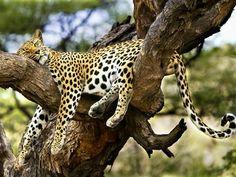 Leopard relaxing in tree!!