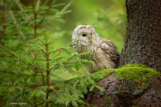 "cuiledhwenofthegreenforest: "" Ural Owl by Milan Zygmunt """