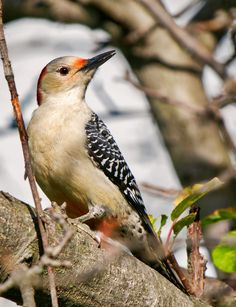 https://flic.kr/p/CYe1ah   Red-bellied Woodpecker