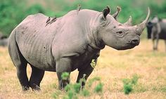 Rhinoceros | Black Rhinoceros at Animal Corner