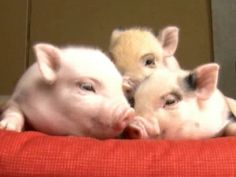 Vermont neighbors squeal 'too many pigs'
