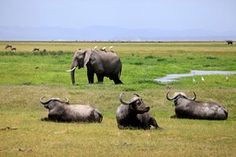 Elephant and Cape buffalo in Amboseli national park in Kenya