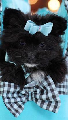 Mixed Breeds:  Maltese+Pomeranian - looks like a cat and dog mix :-)