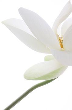 Fleur de Lotus, Lotosblume, by Bahman Farzad White Flowers, Beautiful Flowers, Lotus Flowers, Simply Beautiful, White Lotus, Shades Of White, White Aesthetic, Water Lilies, Belle Photo