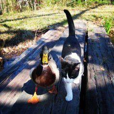 duck--ing