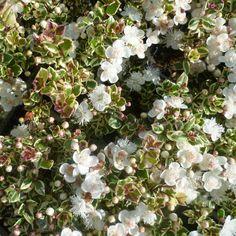 Myrtus apiculata 'Glanleam Gold' - Myrte blanc parfumé - Luma panaché
