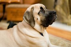 With his imposing size, sleek coat, and distinctive black-masked face, the Mastiff -- sometimes called the English Mastiff or Old English Mastiff -- is probably not the dog you think he is. Certainly he's the largest of the dog breeds, not the tallest but the heaviest, routinely weighing in at more than 200 pounds!
