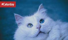 Цей котик ніби з казки, правда? В його різнокольорових очах – вся таємнича глибина озера Ван. #Caturday