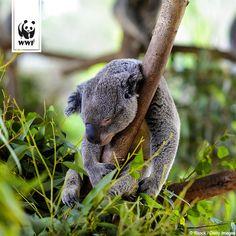 Wusstet ihr, dass Koalas eine ganz besondere Klimaanlage gegen Überhitzung haben? Bei Überhitzung kuscheln sie sich an kühlende Baumstämme, die bis zu acht Grad kühler sind als die Umgebungstemperatur!