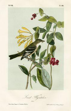 audobon+prints | Audubon Birds of America Prints 1871