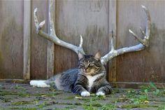 deer-cat