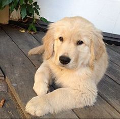 #Golden Retriever #pretty #dog