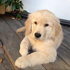 what an adorable Golden Retriever puppy!