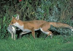 This is an example of predator-prey relationship. The predator is the fox and the prey is rabbit.