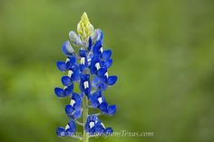 bluebonnets,bluebonnet images,bluebonnet photos,texas bluebonnets,texas wildflowers