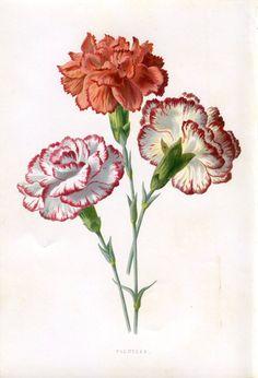 Antique Original Original Coloured Bookplate Color Book Plate Vintage Print E. Hulme Familiar Garden Flowers 1890 Picotees