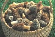 The Incredible, Edible...Morel | Missouri Department of Conservation